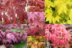Klony japońskie i palmowe wnoszą do ogrodu powiew orientalnej egzotyki i koronkowe liście oraz wspaniałe barwy, zwłaszcza jesienią