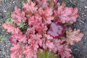 Heuchera ' Peach Flambe'
