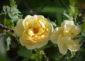 Rosa rugosa 'Agnes' - jedna z niewielu róż pomarszczonych o żółtych kwiatach