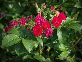 Rosa  'F.J. Grootendorst' - mieszaniec Rosa rugosa, powtarza kwitnienie