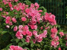 'Pink Grootendorst' - mieszaniec róży pomarszczonej. Hybrid Rugosa