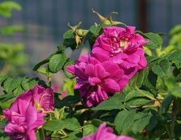 Rosa rugosa 'Hansa' - róża pomarszczona, powtarzająca kwitnienie