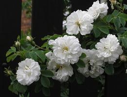 'Alba Maxima' - róża historyczna biała, sprzed 1500 roku, do tej pory często spotykana w wiejskich ogródkach