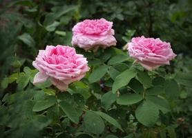 'Comte de Chambord' - powtarzająca kwitnienie róża portlandzka
