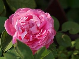 'Mrs. John Laing' - remontantka z 1885 r., powtarzająca kwitnienie