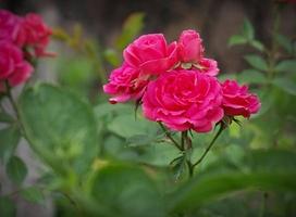 'Elmshorn' - obficie kwitnąca róża parkowa