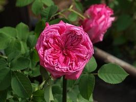 'Paul Ricault' - róża historyczna, stulistna, zaliczana również przez niektórych do róż burbońskich. Strefa 4b
