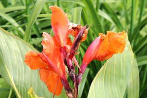 Kwiat kanny umieszczony jest na długiej szypułce