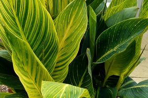 Kanna o ciekawych, paskowanych liściach