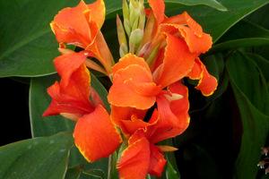 Kanna indica  'Madeira Orange'