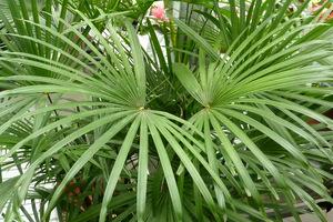 Palmy potrzebują naszych obserwacji. Zwracamy uwagę, czy nie pojawiły się szkodniki