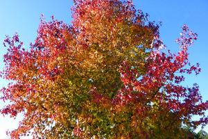 Liquidambar styraciflua -  korona drzewa