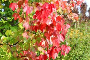 Acer rubrum 'Scanlon'