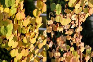 Cercidyphyllum japonicum