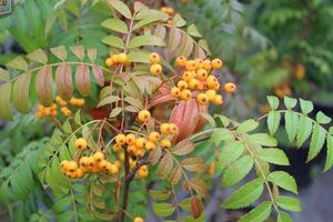 Sorbus 'Autumn Spire'