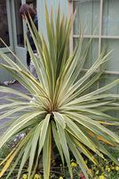 Cordyline australis  'Albertii'  -  odmiana atrakcyjnie paskowana