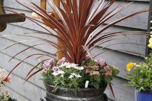 Kordylina z hortensją, goździkami i złocieniem krzewiastym (Argyranthemum)