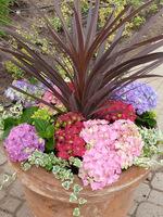 Kordyliny z różnokolorowymi hortensjami