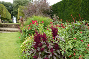 Kordyliny na rabacie Red Border w Hidcote Manor. Na pierwszym planie purpurowe szarłaty (Amaranthus)
