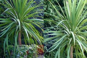 Zwykła kordylina o zielonych liściach jest najbardziej odporna na mróz