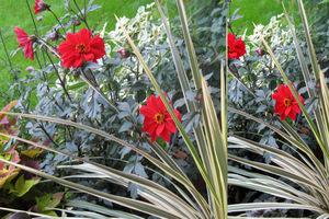 Kremowo-zielona kordylina 'Albertii' w towarzystwie czerwonych dalii