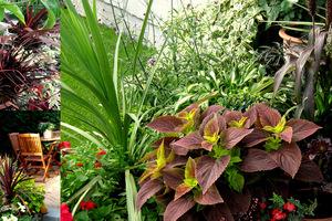 Kordyliny w zestawieniu z koleusami i innymi roślinami o ozdobnych liściach