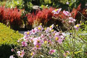 Na pierwszym planie delikatnie różowe zawilce japońskie, a w oddali czerwona wstęga traw (Imperata cylindrica 'Red Byron')