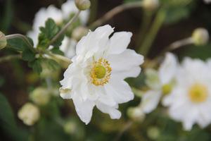 Anemone  japonica  'Honorine Jobert'