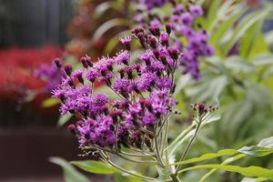 Vernonia - efektowna bylina mało znana w Polsce