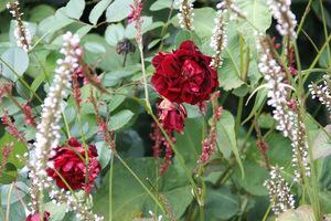 Jesienne róże i Persicaria