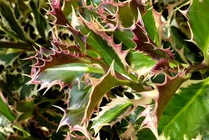 Ilex aquifolium 'Argenteo Marginata'