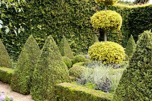 Kule na pniu z ostrokrzewu o dwubarwnych liściach wśród bukszpanowych obwódek i stożków