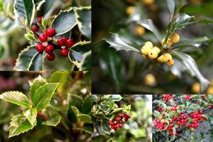 Ostrokrzew to zimozielony krzew z czerwonymi lub żółtymi owocami i efektownymi liśćmi
