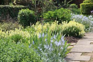 W maju w Hatfield kwitły  niebieskie irysy i żółte pszonaki. A po lewej na brzegu - Veronica austriaca