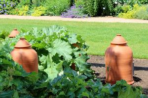 Klosze służą w niektórych ogrodach jako ozdoba, ale bardziej jednak są ciągle czynnie wykorzystywane do przykrywania młodego rabarbaru