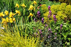 Niesamowita kompozycja majowa z wykorzystaniem irysów, żółtolistnej turzycy, fioletowego pszonaka i wilczomlecza