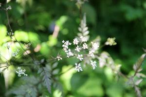 Dzika pietruszka, czyli trybula leśna (Anthriscus sylvestris)
