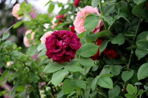 Róże pnące,  fot. Danuta Młoźniak