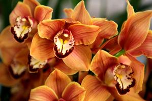 Rzadko spotykany okaz Cymbidium z kwiatami w kolorze brązowym