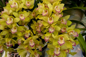 Cymbidium 'Emerald Feather'