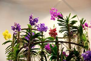 Po okresie spoczynku, ponowne kwitnienie storczyków Vanda mogą zainicjować nieco niższe temperatury i jasne światło