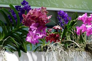 Rośliny umiejscawiamy w wiszących, ażurowych koszach albo bez nich. Pozwala to na swobodny rozrost korzeni, które nie lubią być uszkadzane