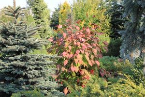 Iglaki wysokie (świerki, tuje, jodły) będą się nadawały jako rośliny górujące na rabatach do zestawień z krzewami o ozdobnych liściach
