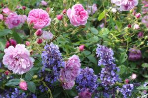 Zgrany duet z różami