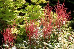 Czerwone kwiaty tawułki na tle żółtych liści klonu ((Acer shirasawanum 'Aureum')