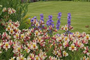 Zauważyłam alstremerie. W Anglii dość powszechnie sadzone są na rabatach i dają niezwykły efekt dzięki ciepłym kolorom