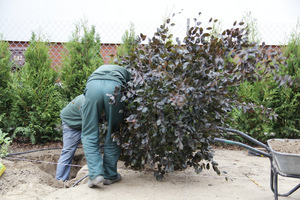 Jeśli jednak zabieg zostanie prawidłowo wykonany - nie ma obaw, drzewo musi się przyjąć i straty będą minimalne