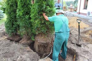 Jeśli drzewo nie jest ciężkie, wyciągamy je na brezent i przewozimy lub przeciągamy na nowe miejsce