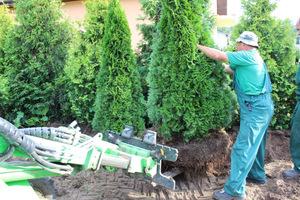 Ustawianie drzew w  nowym miejscu