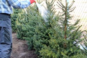Drzewa zimozielone możemy wieczorem zraszać także z góry, aby uzupełniały braki wody